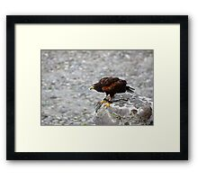 Harris Hawk Waiting to Fly Framed Print