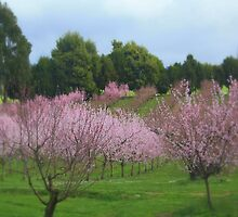 Flowery Gully Orchard by suburbanjubilee