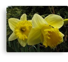 Daffodil Delights Canvas Print