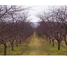 Old Mission Orchard Photographic Print