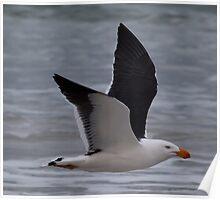 Pacific Gull, Narawntapu, Tasmania Poster