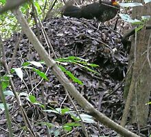 Australian Brush Turkey on his mound by Margaret  Hyde