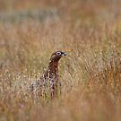 Red grouse by Fiona MacNab