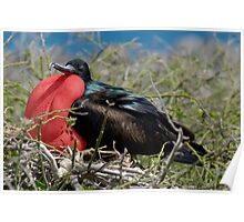 Side view of Great Frigate bird (Frigata minor) in shrub Poster