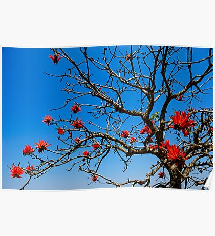 Red-Hot Poker tree in bloom Poster