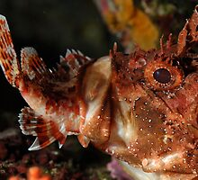 Close up of Scorpion Fish (Scorpaena Scrofa) eating fish, side view by Sami Sarkis