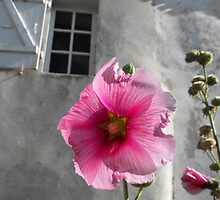 Rose trémière or Hollyhock on the Ile de Re France by graceloves