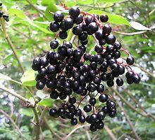 Elderberries by lezvee