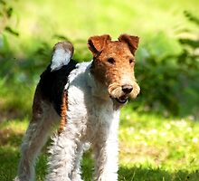 Fox Terrier by ilpo laurila