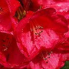 Rhododendron - deep pink by Bev Pascoe