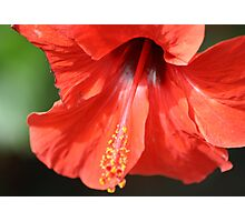 Red Petal and Anther with Pistil of Hibiscus Flower Photographic Print