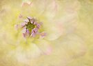 softly softly dahlia by Teresa Pople