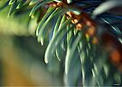 Morning Glow Blue Spruce Needles by William Martin