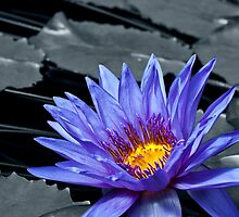 Tropical Waterlily by Vac1