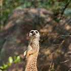 Meerkat by Vac1