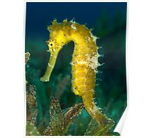 Thorny seahorse Poster
