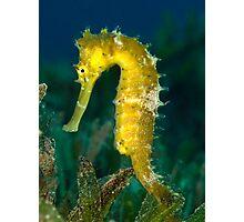 Thorny seahorse Photographic Print