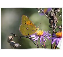 As The Sunsets On This Sulphur Butterfly In Oct.. Poster