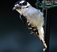 Downy Woodpecker by Renee Blake