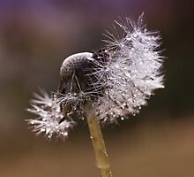 Fluffy dandelion drops by Karen Havenaar