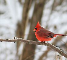 Male Cardinal by Alyce Taylor