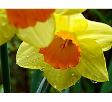Daffodils in Spring Rain Photographic Print