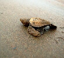 Baby Turtle Unedited by Jacki Campany