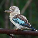 Watchful Kookaburra  by cathywillett