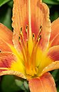 Day Lily (iPhone Case) by William Brennan