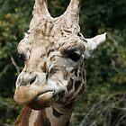 Rothschild's Giraffe by Michelle Cocking