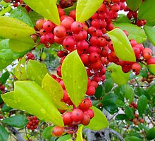 Red Holly Berries by Cynthia48