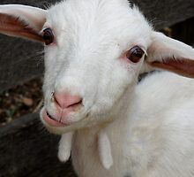 Baby Goat by Betsy  Seeton