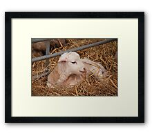 Young Lamb Framed Print