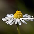 Lawn Daisy by gmws