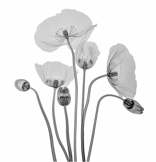 Bunch of Poppies by Paul CESSFORD