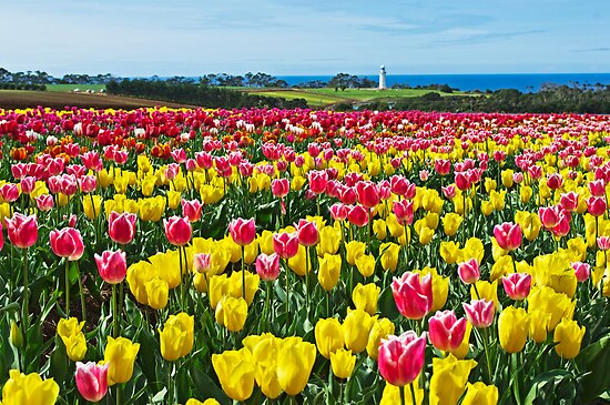 Sea of Tulips by TonyCrehan