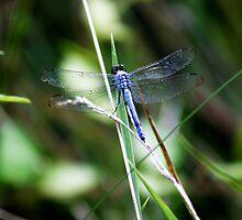 Dragonfly by dawnderby