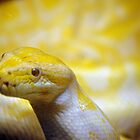 Albino Burmese python  by scott staley