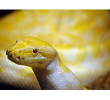 Albino Burmese python  Photographic Print