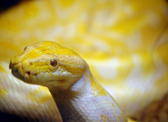 Albino Burmese python  by scott staley