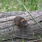 Eeek... an Antechinus! by Phillip Weyers