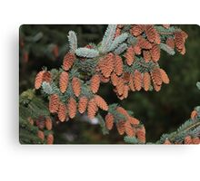 Fir Cones Canvas Print