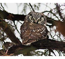 Boreal owl (Aegolius funereus) Photographic Print