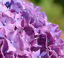 Lilac Hydrangea  by Emma Simons