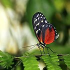 Tiger longwing Butterfly by Grant Glendinning