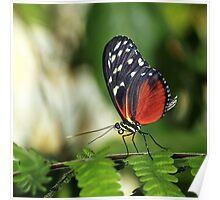 Tiger longwing Butterfly Poster