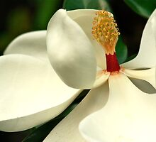 White Magnolia Blossoms by Ann M. Murphy