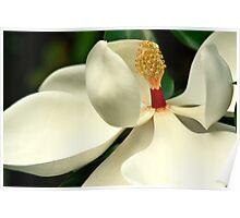 White Magnolia Blossoms Poster