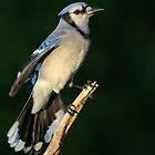 Eagar Blue Jay by Heather Pickard