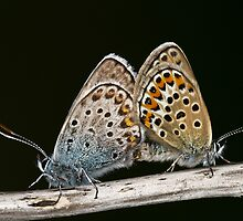Mating Silver Studded Blues by davediver